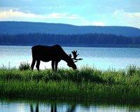 Возраст лося с различной степенью точности можно определить по внешнему виду животного, по рогам, следам...